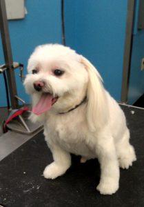 Dog haircut in Richmond, VA.