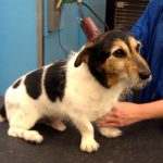Jack Russell Terrier grooming services in Richmond, VA.