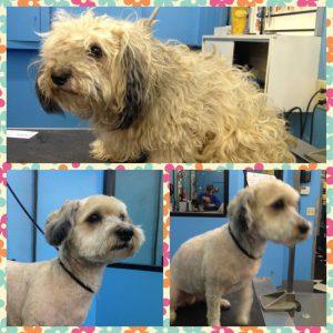 Summer haircut for my dog near Parham Road in Richmond, VA.