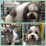 Malti Poo grooming services in Richmond, VA