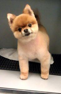 Pomeranian teddy bear cut in Richmond, VA.