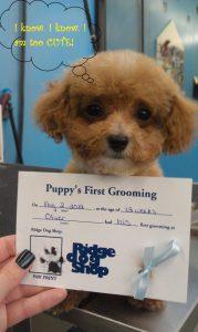 Puppy first haircut in Richmond, VA.