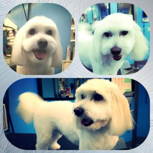 Special haircut for my toy dog in Richmond, VA.