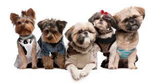We specialize in Shih Tzu and Yorkies in Richmond, VA.